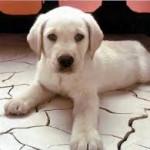pelo-cani