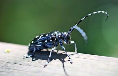 alrak-long-horned-beetle-2334236__340